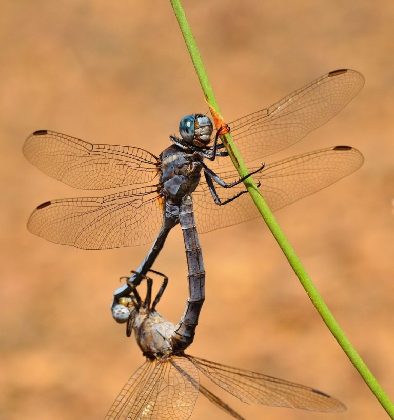 Fun Dragonfly Facts to Amaze Your Friends!