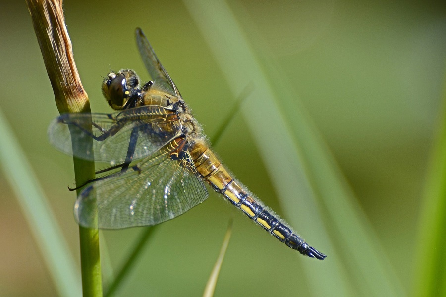 Dragonfly Why Quot Helicopter Quot Of The Insect World Zala Hub
