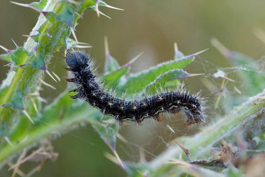 vanessa butterfly larvae - 900×600