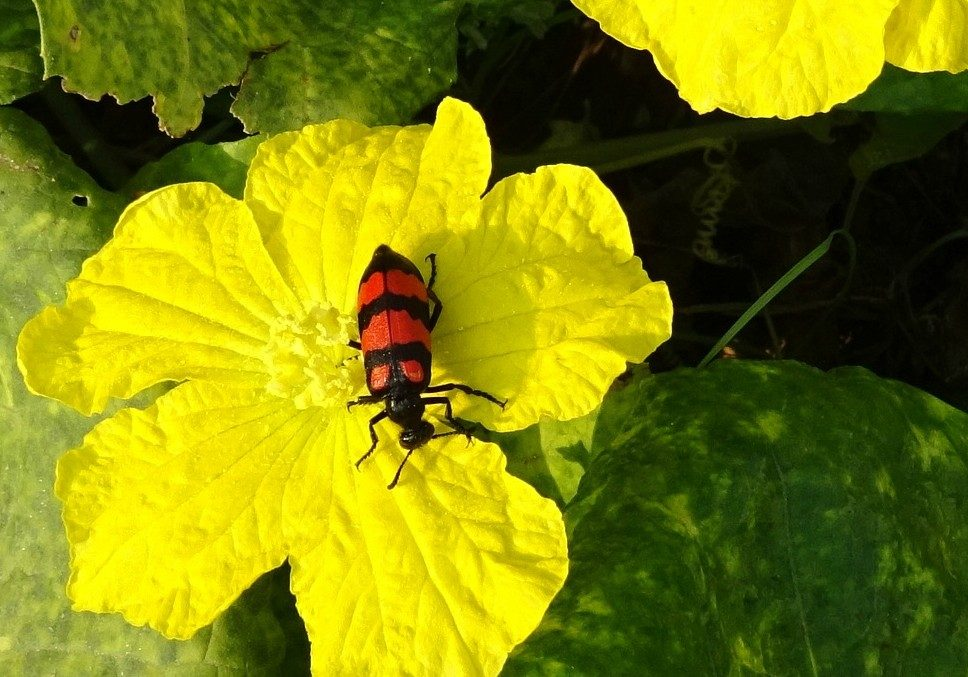 Pheromones—Blister Beetle Tricks the Digger Bee | ZALA HUB